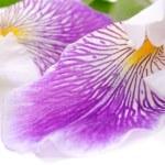 flor de íris linda — Foto Stock