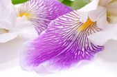 Beautiful Iris Flower — Stock Photo