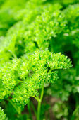 Curly Parsley on Vegetable Patch — Stock Photo