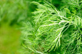 Southernwood (Artemisia Abrotanum) — Stock Photo