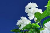 Jasmijn bloemen tegen blauwe hemelachtergrond — Stockfoto