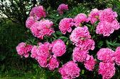 Pink Peony Bush — Stock Photo