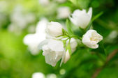Jasmine Flowers on Shrub — Stock Photo