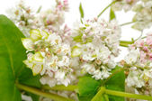 Buckwheat Flowers — Stock Photo