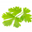 Celery Leaves — Stock Photo