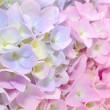 Beautiful Purple and Pink Hydrangea Flowers — Stock Photo #6186013