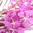 Fireweed (Rosebay Willowherb) Flowers — Stock Photo