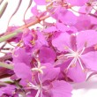 Fireweed (Rosebay Willowherb) Flowers - Stock Photo