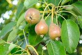 Weinig peren op boom — Stockfoto