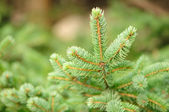 Green Fir Tree Branches — Stock Photo