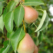Pears on Tree Branch — Stock Photo #6295999
