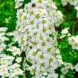 White Spiraea (Meadowsweet) Flowers — Stock Photo