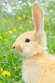 Cute Baby Rabbit — Stock Photo