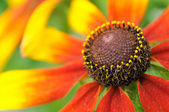 Coneflower (Rudbeckia) Close-up — Stock Photo
