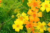 Marigold (Tagetes) Flowers on Flower Bed — Stock Photo