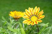 Mooie gazania bloemen — Stockfoto