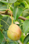 Cracked Pear on Tree Branch — Stock Photo