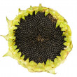 Sunflower with Seeds — Stok fotoğraf