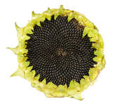 Sunflower with Seeds — Stock Photo