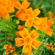 Marigold (Tagetes) Flowers — Stock Photo