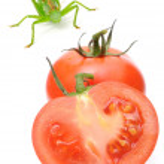 Tomatoes and Grasshopper — Stock Photo