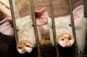 Pigs Behind Bars in Barn — Stock Photo