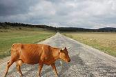 棕色母牛 — 图库照片