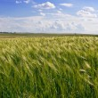 Wheat corn field — Stock Photo