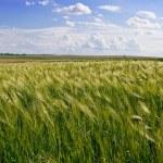 Wheat corn field — Stock Photo #5973935