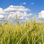 Wheat field — Stock Photo #5974026