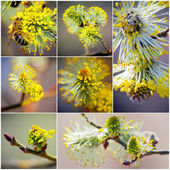 Pussy Willow collection — Stock Photo