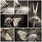 Close-up of White butterfly collection in monochrome — Stock Photo