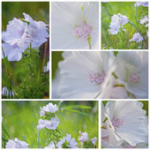 White Malva — Stock Photo