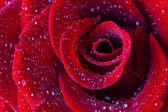 Kırmızı rosesclose-up su damlaları — Stok fotoğraf