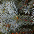 Blue spruce — Stock Photo #6644285