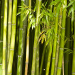 Bamboo - Stock fotografie