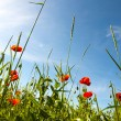 Red poppy field - Stockfoto