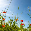 Red poppy field - Foto Stock