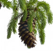 Pine Cone And Branch - Stock Photo