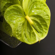 Anthurium boquet - Stock Photo
