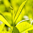 Tea plant - Stock Photo