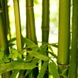 Bamboo — Stock Photo #6728244