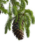 Pine Cone And Branch — Stock Photo