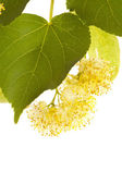 Linden-tree flowers — Stock Photo