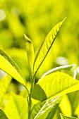 Planta de té — Foto de Stock