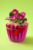 Primrose flower bouquet — Stock Photo