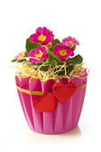 Primrose flowerpot — Stock Photo