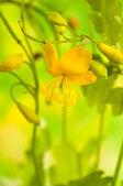 Herbal medicine: celandine — Stock fotografie
