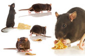 Black rat isolated collage — Stock Photo