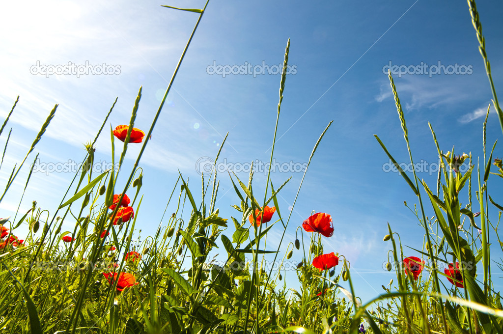 Red poppy field — Stock Photo #6727055